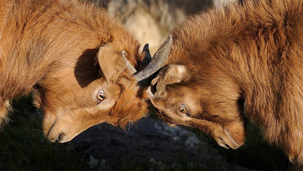 2 rams butting heads