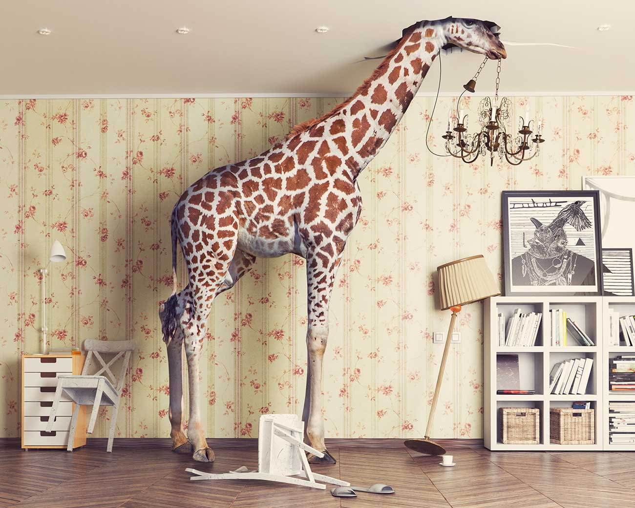 Giraffe in room with head through ceiling